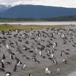 Pinguinos eclaireurs uahuaia les